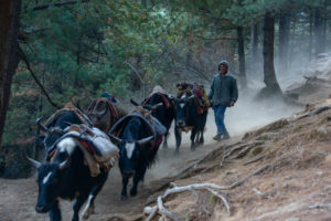 A herder heading towards Lukla with his Zopke (cross breed of yak and cow) to bring supplies to Namche Bazar. They use these animal as a porter