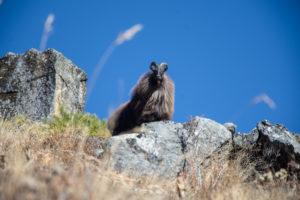 The Himalayan Tahr posing. Photo: Ujjwal Rai