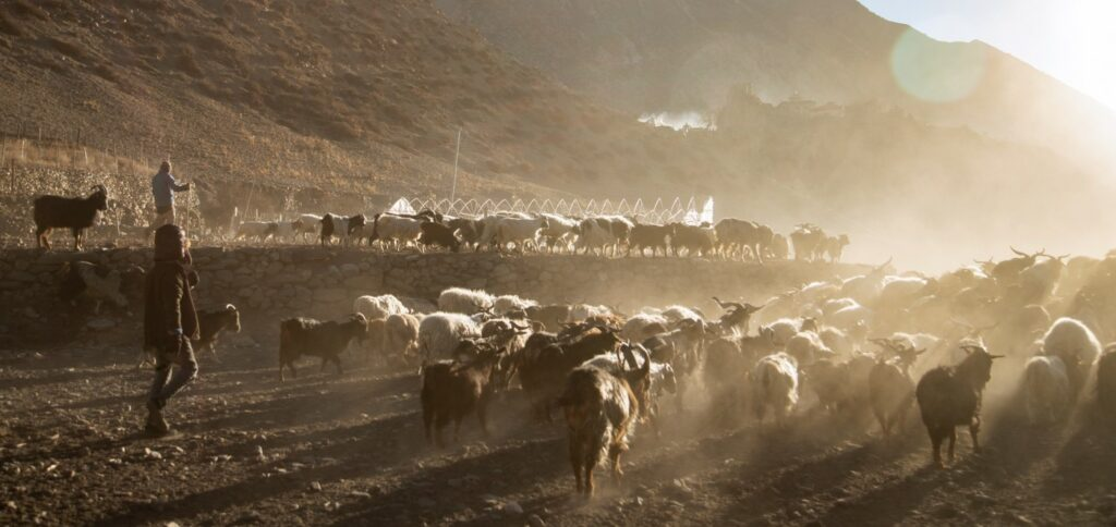 Sheep-grazing-Manang-Nepal8thwonder